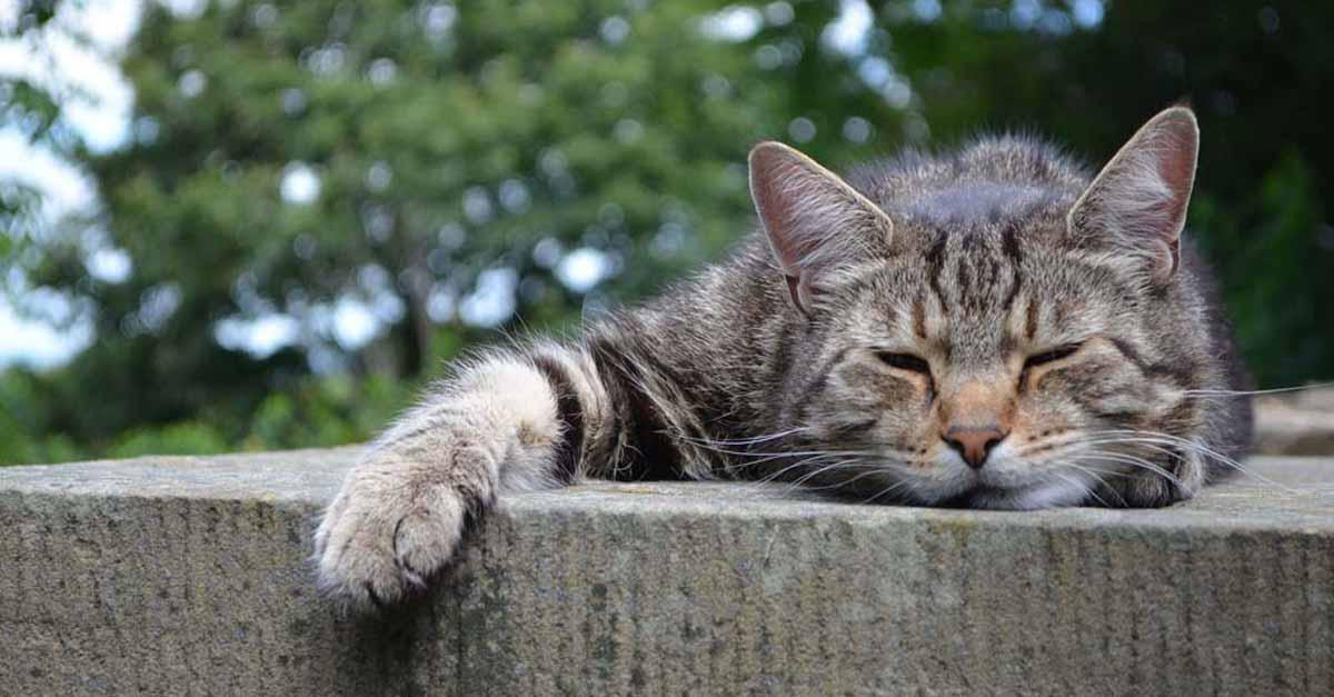 Leucemia felină: caracteristici, simptome și tratament Noti Cats